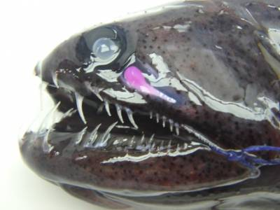 b2ap3_thumbnail_b2ap3_thumbnail_dragonfish-close-up.jpg
